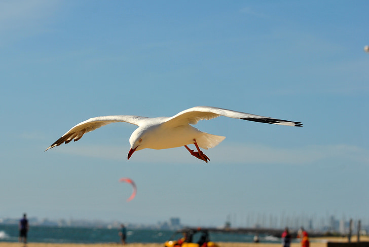 lokki, lintu, siivet, Flying, siipi, siivekäs, lentää