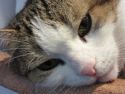 котка лице, животински портрет, котешки очи, кожа, мустаци, котка нос, котка