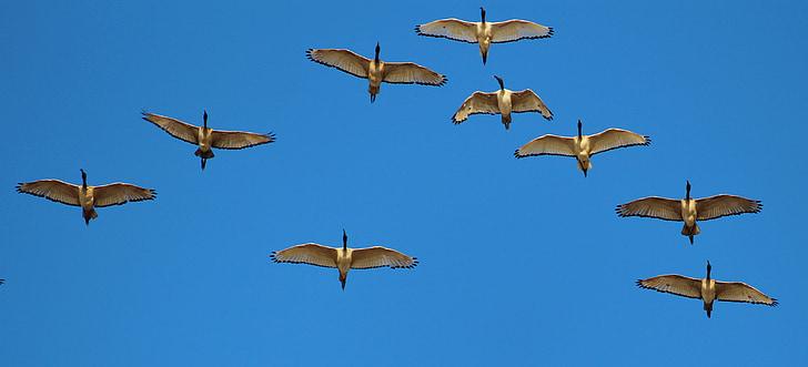 divlje guske, guske, formiranje let, let, formacija, elegantan, tim