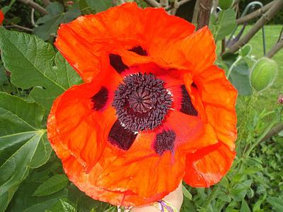 Mak, vlčie maky, Orange, jar, červená, kvet, Príroda