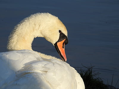 swan, bird water bird, animal, nature, water, waters, pride