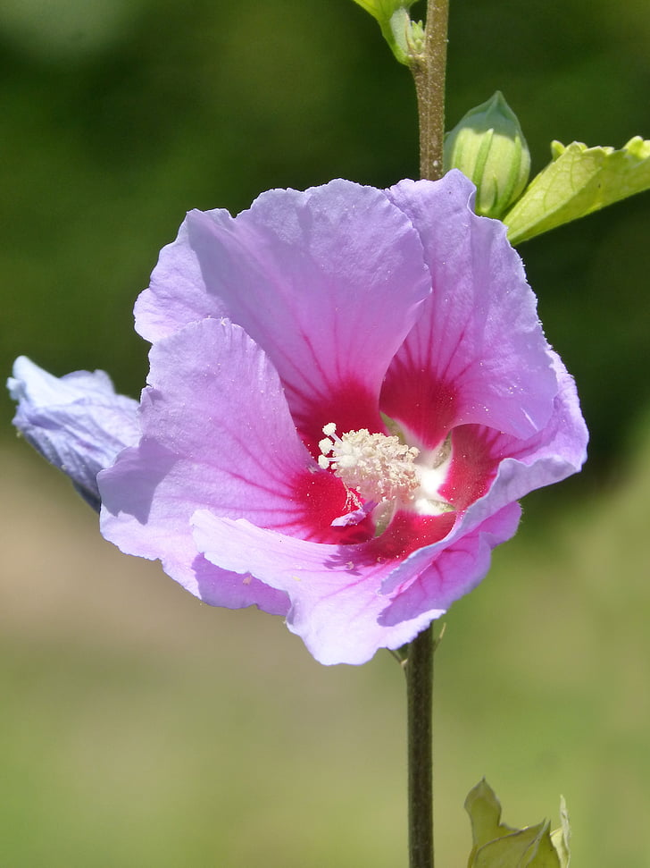 Hibiscus, Purple hibiscus, kwiat, liliowy, fioletowy