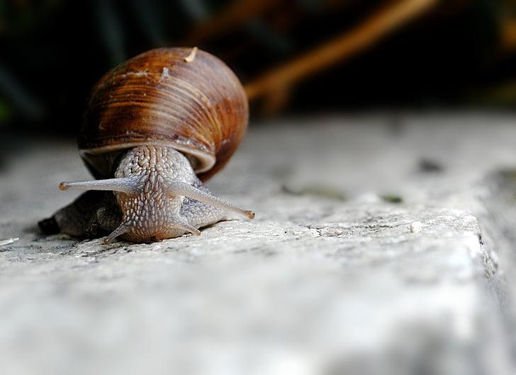 salyangoz, deniz hayvanı kabuğu, gastropod, yüz buruşturma, doğa, bir hayvan, hayvan kabuk