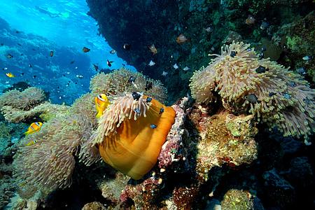 dykker, sjøen, dykking, under vann, dykkerutstyr, under overflaten, korallrev
