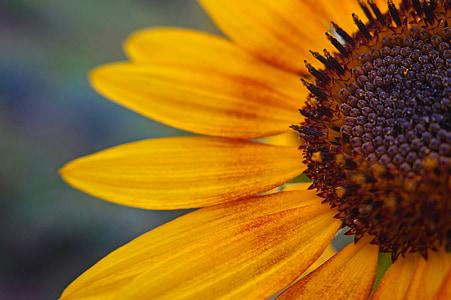 päevalill, lill, kollane lill, taimed, lilled