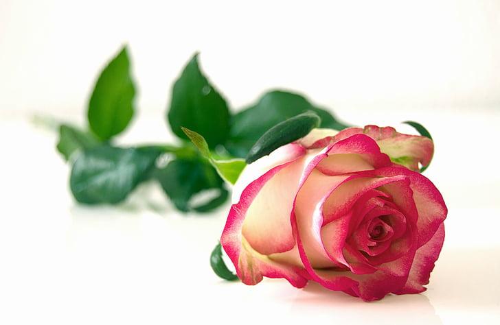 Роза, цветя, Блосъм, Блум, красота, романтичен, цвят