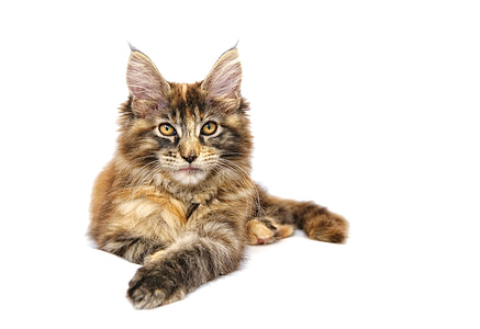 cat, animal, pet, maine coon, mainecoon, domestic Cat, pets
