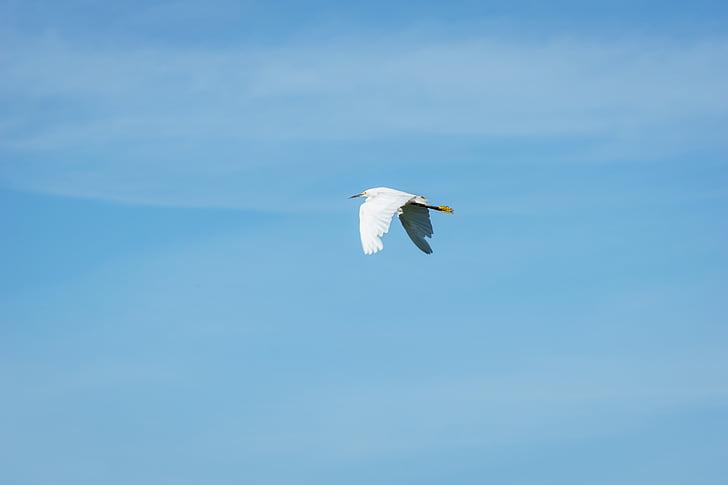 balta, Gandras, plaukioja, kranas, paukštis, sparnai, mėlyna