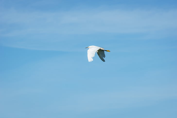 blanc, Cigonya, volant, Grua, ocell, ales, blau