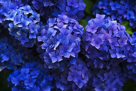 flor, flor, close-up, clúster, flora, flors, Hortènsia