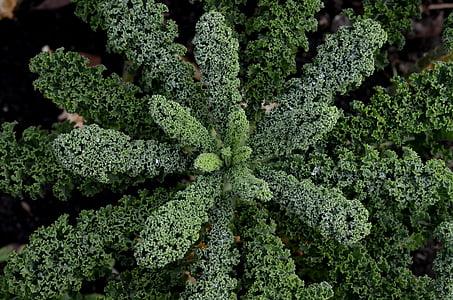 Kale, krauskohl, Kohl, verd, jardí, verdures, Sa