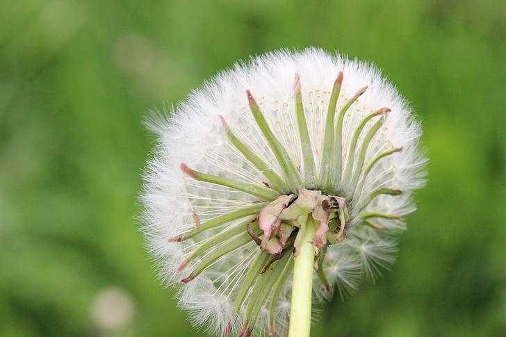Paardebloem, Wild flower, natuur, zaden