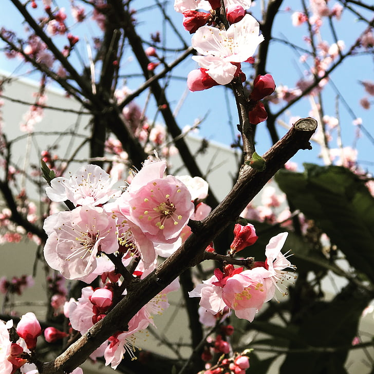 pretty, sakura, blooming