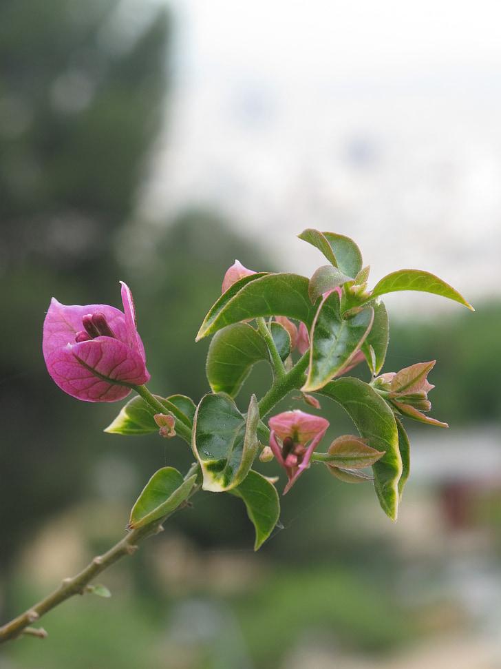 Бугенвиль, цветок, пурпурный, Грин, Природа, Сад