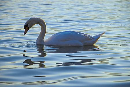 gulbis, ezers, baltais gulbis, ūdens, balta, putns, spalvas