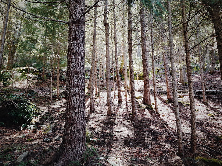 forest, nature, plants, trees, woods, tree, woodland