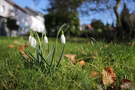 Visibaba, pomlad, znaki pomladi, cvet, rastlin, cvetje, znanilec pomladi