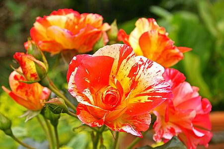 画家上升了, 双色玫瑰, 开花, 绽放, 黄色红色, 上升, 掐丝