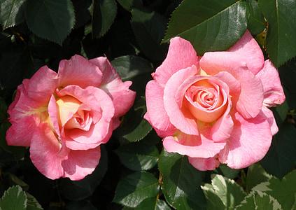 Rosa, flora, flor, natura, Rosa, fragància, bellesa