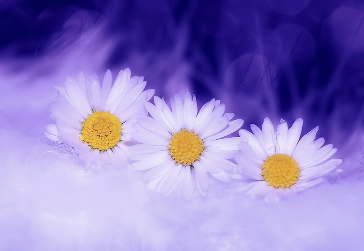 Margarida, flors, blanc, planta, primavera, natura, flor