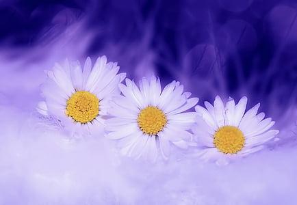marjetica, cvetje, bela, rastlin, pomlad, narave, cvet