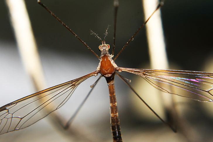 insecte, close-up, mosquit, colors