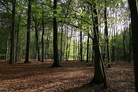 bosc caducifoli, bosc tardor, bosc, fulles, natura