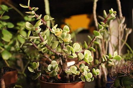 Cactus, pianta, verde, succulente