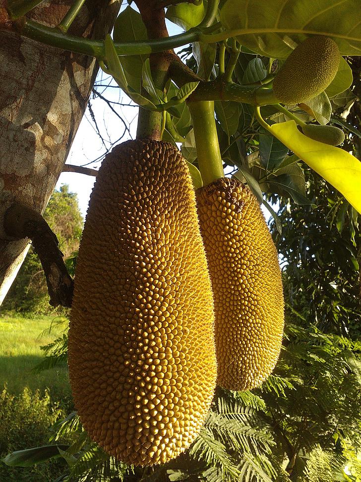 Kathal, fruita, fruita de Tailàndia, arbre, planta, fusta, verd