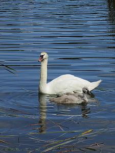 swan, cygnets, baby swan, lake, pond, animal, bird