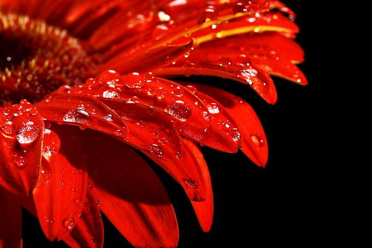 vermell, flor, gota, natura, viure, mullat, pluja