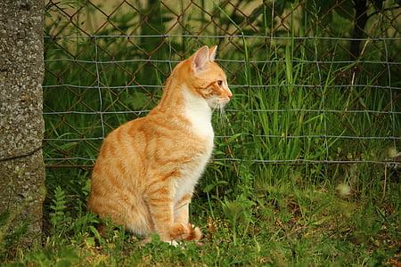 cat, mieze, kitten, domestic cat, red cat, red mackerel tabby, mackerel