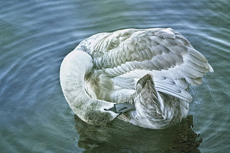 swan, young swan, water, waters, animal, bird