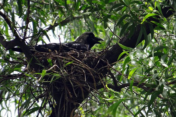 varjú, madár, indiai ház varjú, Corvus splendens, varjú greynecked, fészek, inkubálták