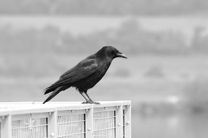 animal, beak, bird, black-and-white, crow, talons