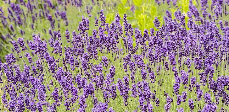 flors, lavanda, jardí, planta, porpra, flor d'espígol, natura