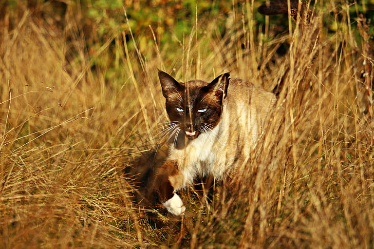 cat, mieze, siam, siamese cat, breed cat, kitten, siamese