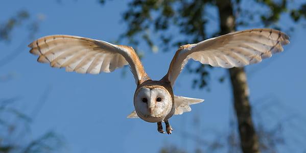 Òliba, ocell, Mussol, natura, vida silvestre, preses, ales