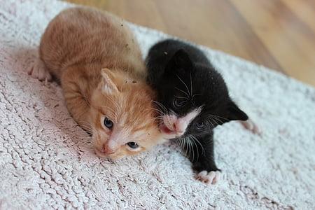 cat, kitten, pet, cats, pets, cute, the black cat