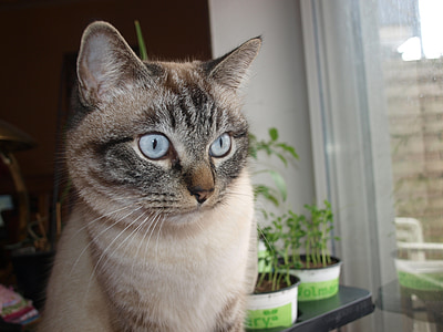 cat, mackerel, grey, white, black, siam, burma