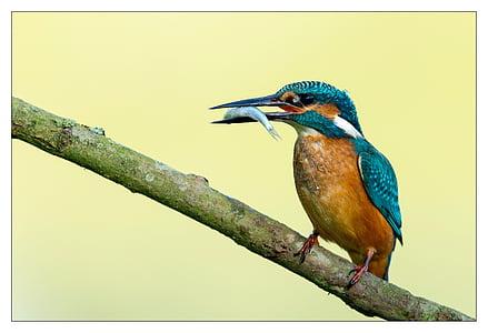 Αλκυόνη, πουλί, πολύχρωμο, κόκκινο, μπλε, ψάρια, φάτε