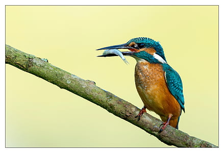 Vodomar, ptica, šarene, Crveni, plava, riba, jesti