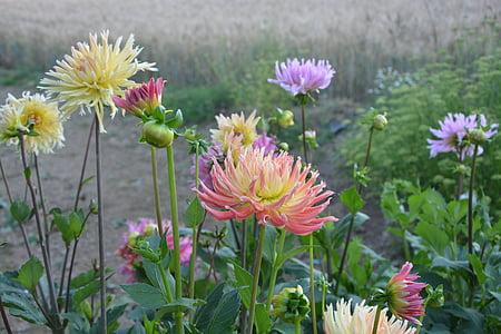 Massif, Dahlia, lill, suvel, kollane, roosa, kevadel