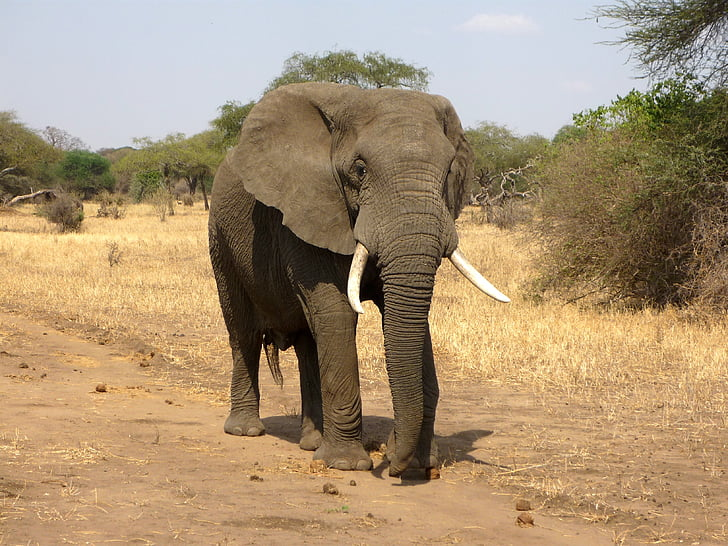 olifant, Afrikaanse bush elephant, Savannah, Afrika, wildernis, Safari, dieren in het wild