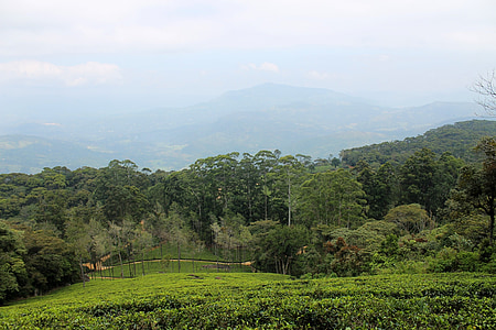 čaj za nekretnine, plantaža, čaj, nekretnine, zelena, krajolik, strana brdo