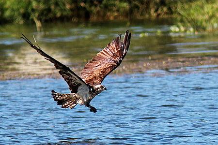 Buteo, aterizare, atac, Lacul, apa, pasăre, faunei sălbatice