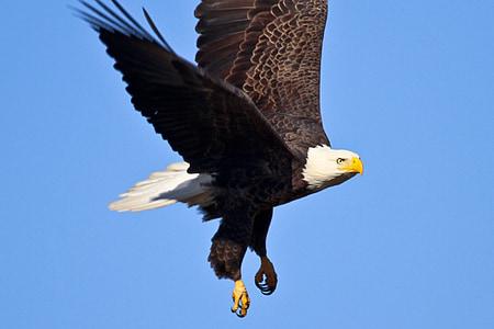 плаващи, птица, дива природа, природата, Хищникът, диви, раптор