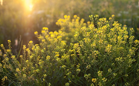 narave, plevela, trava, poletje, rastlin, rumena