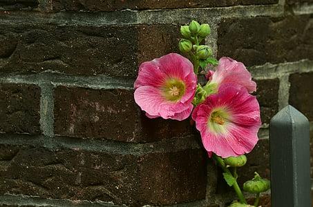 หุ้นกุหลาบ, ชบา, สีชมพู, ดอกไม้, สวน, ดอกไม้, แมโคร
