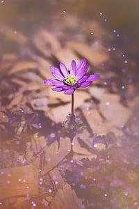 anemone dels Balcans, Anemone de, tancar, flor, flor, flor, primavera